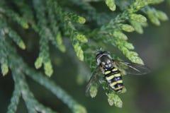 Ριγωτή μύγα Στοκ φωτογραφίες με δικαίωμα ελεύθερης χρήσης