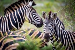 Ριγωτή οικογένεια σε ένα πάρκο Kruger Στοκ εικόνες με δικαίωμα ελεύθερης χρήσης