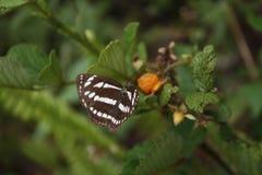 Ριγωτή πεταλούδα στο Μπους με τα φρούτα Στοκ Εικόνες