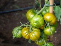 Ριγωτή πορτοκαλιά και πράσινη οργανική τοματιά Γνήσιος οργανικός, εγχώρια κηπουρική στοκ εικόνες με δικαίωμα ελεύθερης χρήσης