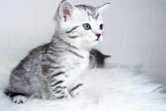Ριγωτή συνεδρίαση γατακιών στο σχεδιάγραμμα στοκ φωτογραφία