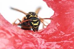 ριγωτή συνεδρίαση σφηκών εντόμων σε ένα κόκκινο juicy καρπούζι Στοκ Φωτογραφίες