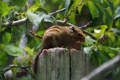 Ριγωτοί σκίουροι Στοκ φωτογραφία με δικαίωμα ελεύθερης χρήσης
