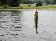 Ριγωτός βαθύς αλιεία στη γραμμή Στοκ Εικόνες