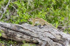 Ριγωτός επίγειος σκίουρος στοκ φωτογραφίες