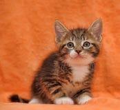 Ριγωτός με ένα άσπρο γατάκι στοκ φωτογραφία με δικαίωμα ελεύθερης χρήσης