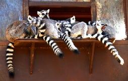 Ριγωτός-παρακολουθημένοι κερκοπίθηκοι στο ζωολογικό κήπο στις διακοπές στοκ εικόνες