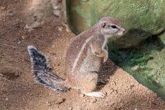 Ριγωτός σκίουρος θάμνων Στοκ Εικόνα
