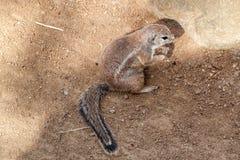 Ριγωτός σκίουρος θάμνων Στοκ Φωτογραφία