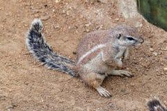 Ριγωτός σκίουρος θάμνων Στοκ εικόνα με δικαίωμα ελεύθερης χρήσης