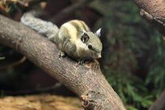 Ριγωτός σκίουρος Himalayan στοκ εικόνα με δικαίωμα ελεύθερης χρήσης