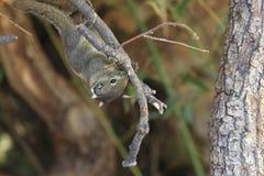 Ριγωτός σκίουρος Swinhoe στοκ φωτογραφία
