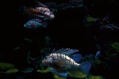 ριγωτός τροπικός ψαριών Στοκ φωτογραφία με δικαίωμα ελεύθερης χρήσης