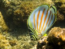 Ριγωτός υποβρύχιος στενός επάνω ψαριών πεταλούδων τροπικός στοκ φωτογραφίες
