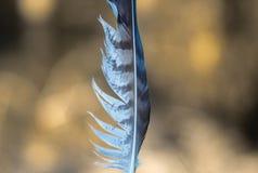 Ριγωτό άσπρο και γκρίζο φτερό, φυσικό υπόβαθρο Στοκ Εικόνα