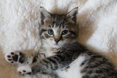 Ριγωτό γατάκι βαμβακερού υφάσματος στοκ εικόνες με δικαίωμα ελεύθερης χρήσης