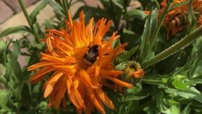 Ριγωτό δασύτριχο μεγάλο bumblebee στο πορτοκαλί λουλούδι του calendula απόθεμα βίντεο