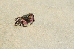 Ριγωτό καβούρι ακτών (Pachygrapsus crassipes) Στοκ φωτογραφίες με δικαίωμα ελεύθερης χρήσης