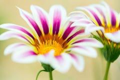 Ριγωτό λουλούδι Gazania τιγρών Στοκ Φωτογραφία