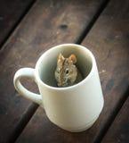 3 ριγωτό ποντίκι τομέων Στοκ Φωτογραφία