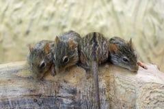 Ριγωτό ποντίκι χλόης Βαρβαρίας (barbarus Lemniscomys) Στοκ Εικόνα