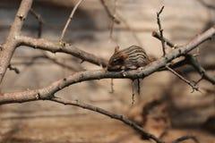 Ριγωτό ποντίκι χλόης (είδη Lemniscomys) σε έναν κλαδίσκο Στοκ φωτογραφία με δικαίωμα ελεύθερης χρήσης