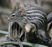 Ριγωτό ποντίκι χλόης Στοκ Εικόνα