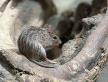Ριγωτό ποντίκι χλόης Στοκ Φωτογραφίες