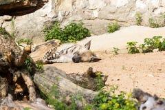 Ριγωτό υπόλοιπο hyena μετά από το κυνήγι νύχτας Στοκ εικόνα με δικαίωμα ελεύθερης χρήσης