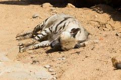 Ριγωτό υπόλοιπο hyena μετά από το κυνήγι νύχτας Στοκ Φωτογραφίες