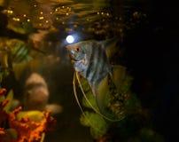 Ριγωτό Angelfish Στοκ φωτογραφία με δικαίωμα ελεύθερης χρήσης