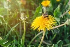 Ριγωτό bumblebee συλλέγει τη γύρη από μια κίτρινη πικραλίδα σε ένα πράσινο λιβάδι ηλιόλουστο ημερησίως άνοιξη στοκ εικόνες