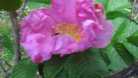 Ριγωτό bumblebee συλλέγει ενεργά τη γύρη σε ένα λουλούδι ενός dogrose - 16s απόθεμα βίντεο