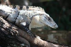 Ριγωτό Iguana Στοκ Εικόνα