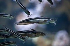 Ριγωτό lineatus Plotosus γατόψαρων χελιών Στοκ φωτογραφία με δικαίωμα ελεύθερης χρήσης