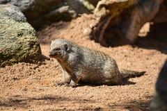 Ριγωτό mongoose Mungos mungo στοκ εικόνες