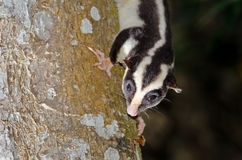 Ριγωτό Possum, Queensland, Αυστραλία, φωτογραφία λάμψης Στοκ φωτογραφία με δικαίωμα ελεύθερης χρήσης