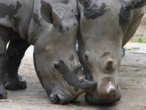 ρινόκεροι δύο λευκό Στοκ εικόνες με δικαίωμα ελεύθερης χρήσης