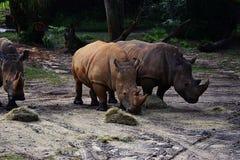 Ρινόκεροι στο ζωολογικό κήπο Στοκ φωτογραφία με δικαίωμα ελεύθερης χρήσης