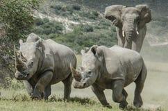 Ρινόκεροι χρέωσης ελεφάντων στο σαφάρι μας στην Αφρική στοκ εικόνα