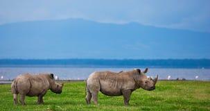 Ρινόκεροι Στοκ Εικόνα