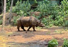 Ρινόκεροι Στοκ Φωτογραφίες