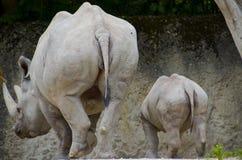 ρινόκεροι Στοκ φωτογραφίες με δικαίωμα ελεύθερης χρήσης