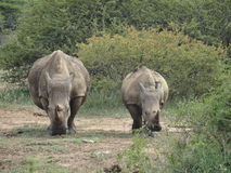 Ρινόκεροι 2 Στοκ φωτογραφία με δικαίωμα ελεύθερης χρήσης