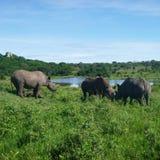 ρινόκεροι στοκ εικόνα με δικαίωμα ελεύθερης χρήσης