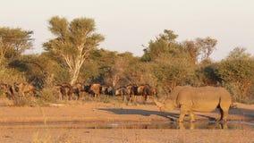 Ρινόκερος και ο πιό wildebeest απόθεμα βίντεο