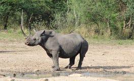 Ρινόκερος, μαύρος Αφρικανός σπάνιος και είδος απειλούμενο με εξαφάνιση - δύναμη αγελάδων Στοκ φωτογραφία με δικαίωμα ελεύθερης χρήσης