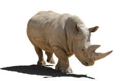 Ρινόκερος με μια σκιά, απομόνωση σε ένα άσπρο υπόβαθρο στοκ φωτογραφία με δικαίωμα ελεύθερης χρήσης