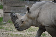 Ρινόκερος με το λασπώδες κέρατο Στοκ εικόνα με δικαίωμα ελεύθερης χρήσης