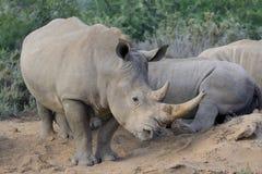 Ρινόκερος με το μεγάλο κέρατο δύο Στοκ Εικόνα